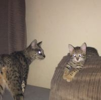 Savannah Cats for sale in Burgettstown, PA 15021, USA. price: NA