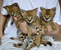 Savannah Cats for sale in San Jose, CA, USA. price: NA