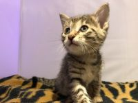 Savannah Cats for sale in Fresno, CA, USA. price: NA