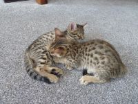 Savannah Cats for sale in Minneapolis, MN, USA. price: NA
