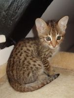 Savannah Cats for sale in Harrisburg, PA, USA. price: NA