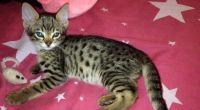 Savannah Cats for sale in Belews Creek, NC 27009, USA. price: NA