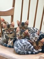Savannah Cats for sale in State Hwy 295, Washington, DC, USA. price: NA