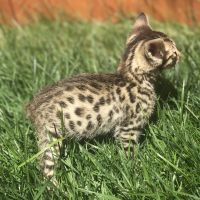 Savannah Cats for sale in Napa, CA, USA. price: NA