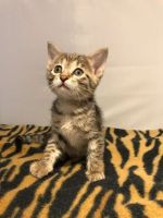 Savannah Cats for sale in Newark, NJ, USA. price: NA