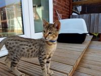 Savannah Cats for sale in Dallas, TX, USA. price: NA