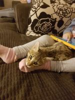 Savannah Cats for sale in Columbus, OH, USA. price: NA