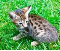 Savannah Cats for sale in Charleston, SC, USA. price: NA