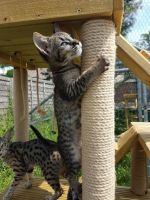 Savannah Cats for sale in Califa St, Los Angeles, CA 91601, USA. price: NA