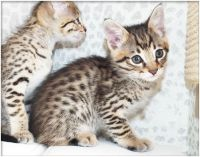 Savannah Cats for sale in Westerville Woods Dr, Columbus, OH 43231, USA. price: NA