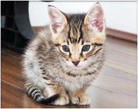 Savannah Cats for sale in Kansas City, MO 64101, USA. price: NA