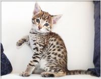 Savannah Cats for sale in Seattle, WA 98101, USA. price: NA