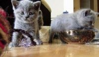 Savannah Cats for sale in Maryland Rd, Willow Grove, PA 19090, USA. price: NA