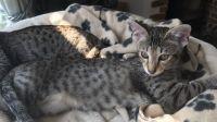 Savannah Cats for sale in San Antonio, TX 78224, USA. price: NA