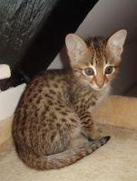 Savannah Cats for sale in Miami, FL, USA. price: NA