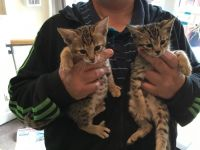 Savannah Cats for sale in Chicago, IL, USA. price: NA