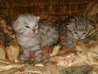 Savannah Cats for sale in Kissimmee, FL 34758, USA. price: NA
