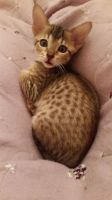 Savannah Cats for sale in Pennsylvania Ave, Gibsonton, FL 33534, USA. price: NA