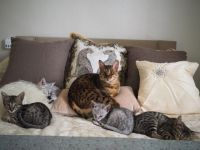 Savannah Cats for sale in Clifton, NJ, USA. price: NA
