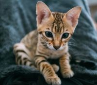 Savannah Cats for sale in Los Angeles, CA 90001, USA. price: NA