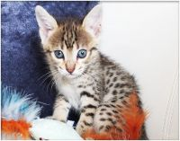 Savannah Cats for sale in 90001 Overseas Hwy, Tavernier, FL 33070, USA. price: NA