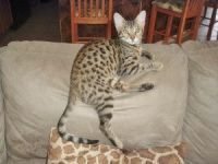 Savannah Cats for sale in Loxahatchee, FL 33412, USA. price: NA