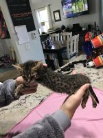 Savannah Cats for sale in Torrance, CA 90503, USA. price: NA