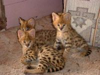 Savannah Cats for sale in Main St, Houston, TX, USA. price: NA