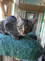 Savannah Cats for sale in Anaheim, CA, USA. price: NA