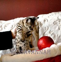Savannah Cats for sale in McHenry, IL 60050, USA. price: NA