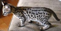 Savannah Cats Photos