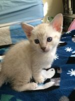 Savannah Cats for sale in Maricopa, AZ, USA. price: NA