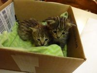 Savannah Cats for sale in Brookville, OH 45309, USA. price: NA
