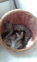 Savannah Cats for sale in North Bergen, NJ, USA. price: NA