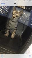 Savannah Cats for sale in Joplin, MO, USA. price: NA