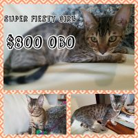 Savannah Cats for sale in Lawrenceburg, KY 40342, USA. price: NA