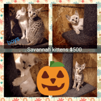 Savannah Cats for sale in Great Falls, MT, USA. price: NA