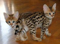 Savannah Cats for sale in California St, San Francisco, CA, USA. price: NA