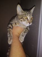 Savannah Cats for sale in Tulare, CA 93274, USA. price: NA