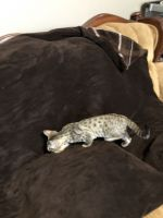Savannah Cats for sale in Vine Grove, KY, USA. price: NA