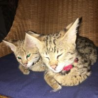 Savannah Cats for sale in Panama City, FL 32401, USA. price: NA