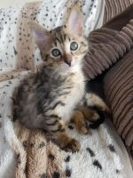 Savannah Cats for sale in Austin, TX, USA. price: NA
