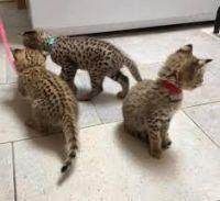 Savannah Cats for sale in F1B Atlantic Blvd, Jacksonville, FL 32224, USA. price: NA