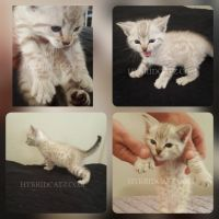 Savannah Cats for sale in Perris, CA, USA. price: NA