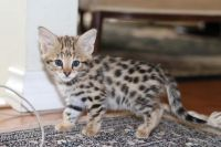 Savannah Cats for sale in Temple, TX, USA. price: NA