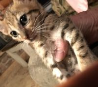 Savannah Cats for sale in Kewaskum, WI 53040, USA. price: NA