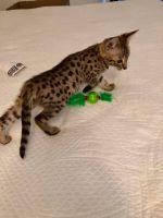 Savannah Cats for sale in Phoenician, Phoenix, AZ, USA. price: NA