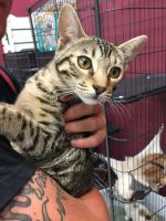 Savannah Cats for sale in Columbus, OH 43235, USA. price: NA