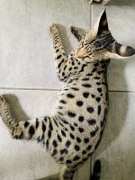 Savannah Cats for sale in Oakland Park, FL 33304, USA. price: NA