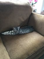 Savannah Cats for sale in Baton Rouge, LA, USA. price: NA
